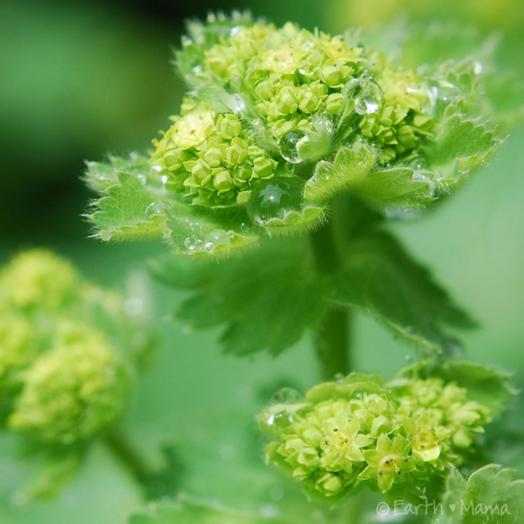 One for the Ladies: Lady's Mantle