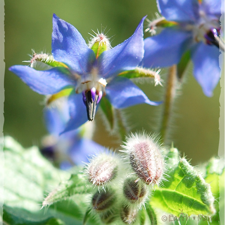 Confused About Borage Seed Oil?